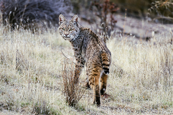 Wild Bobcat (Lynx rufus).  California.  Late Winter.  (Completely wild non-captive cat.)