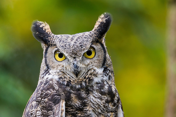 Great Horned Owl (Bubo virginianus).<br /> Pacific Northwest.  Fall.