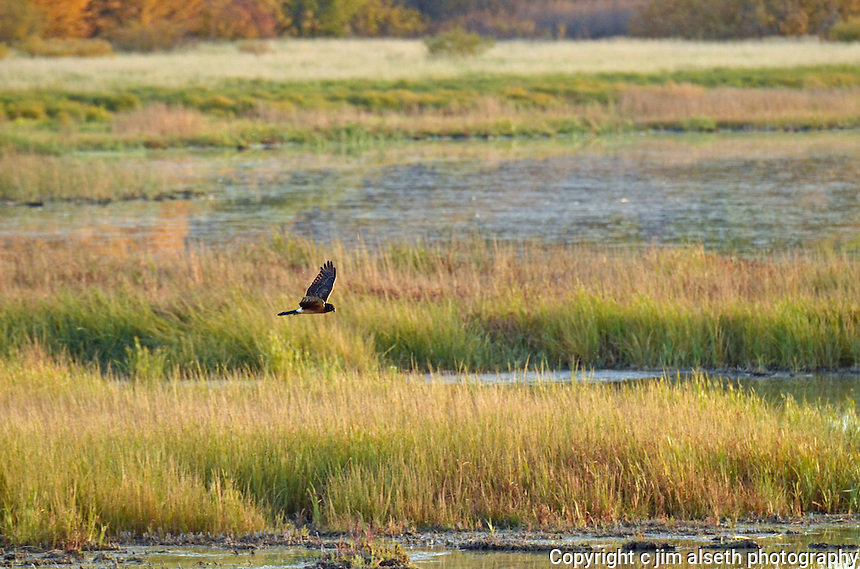 Northern Harrier hawk in it's characteristic low sweeping hunting routine...