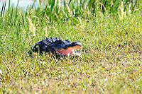 Alligator seeking other territory at Arthur Marshall Loxahatchee Preserve, Delray Beach, Florida.