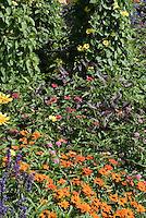Thunbergia 'Sunny Yellow Star' in garden border with Zinnia angustifolia, Salvia farinacea, Perilla, Rudbeckia, etc