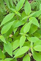 Salvia elegans pineapple sage foliage