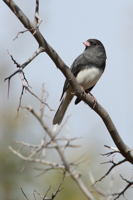 Juncos vary across the country, but in general they're dark gray or brown birds brightened up by a pink bill and white outer tail feathers that periodically flash open, particularly in flight.