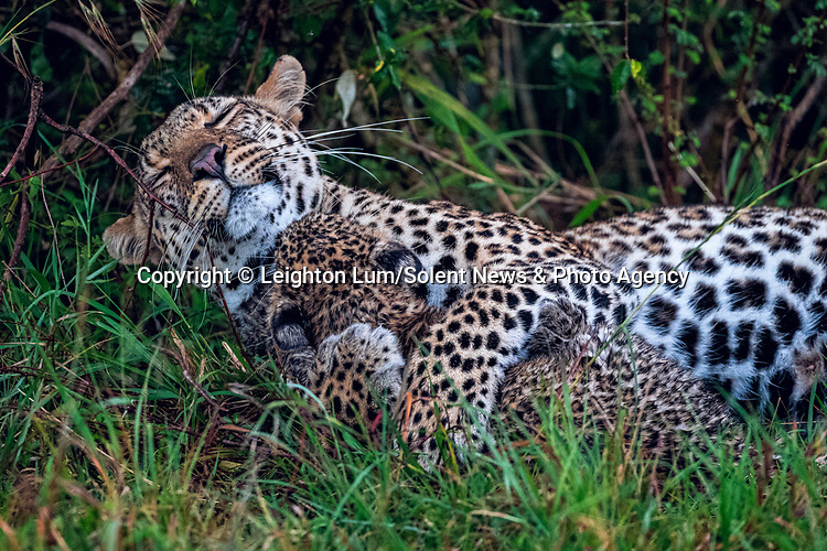 Pictured:  Sequence 7 of 8:  The cub having shaken off the rain goes off to mum for a cuddle<br /> <br /> A leopard cub shakes the rain off its fur before cuddling up to its mother.  The newborn sent raindrops flying as it shook its head from side to side on a tree branch.<br /> <br /> The cub appeared energised by the rain and encouraged his reluctant mother to play.  These photographs were taken at the Masai Mara National Reserve in Kenya by wildlife photographer Leighton Lum.  SEE OUR COPY FOR DETAILS.<br /> <br /> Please byline: Leighton Lum/Solent News<br /> <br /> © Leighton Lum/Solent News & Photo Agency<br /> UK +44 (0) 2380 458800