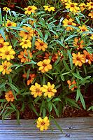 Zinnia angustifolia 'Star Orange' (Narrow Leaf Zinnia)