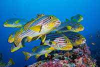 Oriental Sweetlips, Plectorhinchus vittatus, South Male Atoll, Maldives