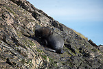 Fur Seal, Elsehul Bay