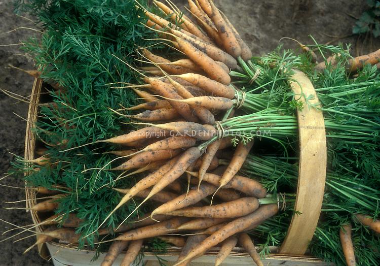 Carrot harvest fresh from garden, in trug basket with soil, tops, leaves