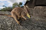 Mareeba rock-wallaby (Petrogale mareeba) eating a gum tree leaf