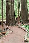 Trail in Redwoods, Redwood National Park, Prarie Creek Redwoods State Park, California, USA  Salmon berries and huckleberries cover the forest floor while Coast Redwood rise into late evening light.  Del Norte Coast south of Crescent City, California near the Smith River.  Redwood National and Redwood State Parks include numerous camp grounds, rivers, hiking, fishing, camping, photography, birding, biking and other outdoor adventures. Long exposure at dusk.