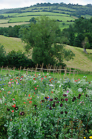 Papaver somniferum (Opium Poppies) and Pictorial Meadow Mix