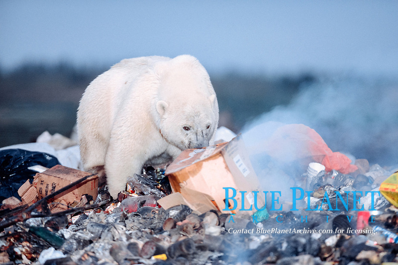 young male polar bear, Ursus maritimus, foraging in the dump near the town of Churchill, Manitoba, Canada, polar bear, Ursus maritimus