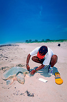 biologist attaches metal tag to flipper of nesting Kemp's ridley sea turtle, Lepidochelys kempii, Rancho Nuevo, Mexico, Gulf of Mexico, Caribbean Sea, Atlantic Ocean