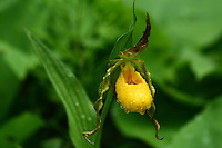 """Yellow Moccasin Flower""<br />