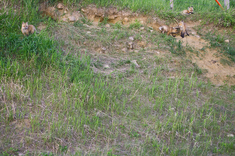 Red Fox Kits in their environment outside their den site