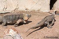 0629-1107  Exuma Island Iguana (Northern Bahamian Rock Iguana), In Courtship and Mating, Bahamas, Cyclura cychlura figginsi  © David Kuhn/Dwight Kuhn Photography
