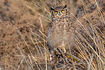 Chile, Patagonia, South American great horned owl (Bubo virginianus nacurutu)