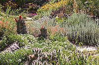 Echinocereus triglochidiatus, Claret-cup cactus in David Salman New Mexico xeric rock garden with gray foliage Artemisia frigida (Fringed Sage) and and white flowering Melampodium leucanthemum (Black Foot Daisy) in early morning sun light
