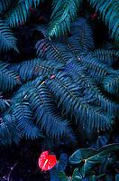 Anthurium and hapuu fern