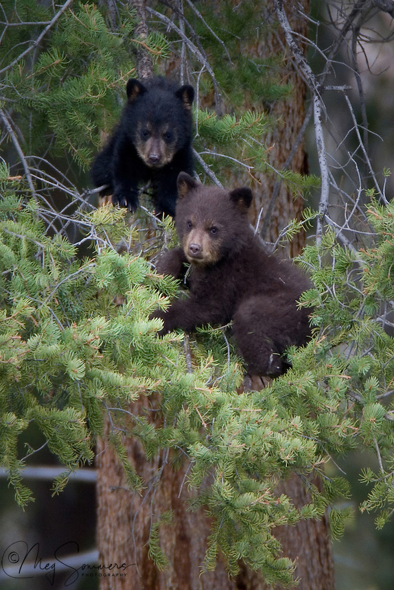 Black bear (Ursus americanus) cubs really love to climb. They have razor sharp little claws and usually go up a tree head first but can come down either way. Sometimes, they go out on a limb just a little too far for their own good! Calcite Cliffs, Yellowstone.