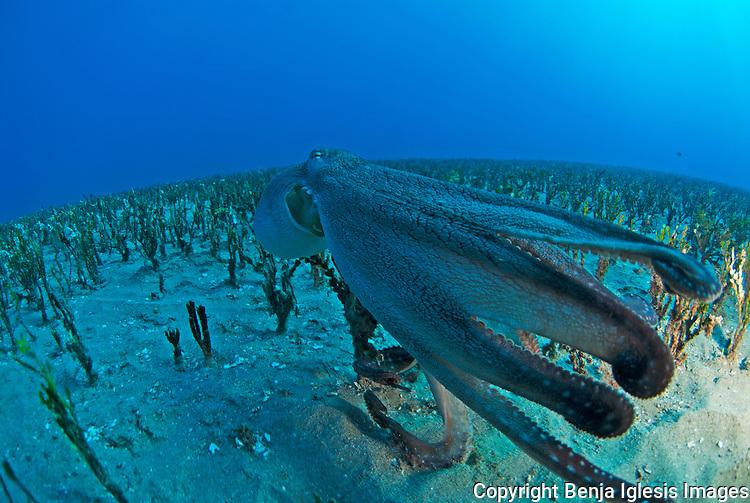 Day Octopus (octopus cyanea) swimming away over alamita grass Maui Hawaii.