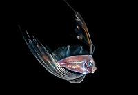 A young Ribbonfish , Desmodema polystictum, also known as a Dealfish, Spotted Ribbonfish or Polka-dot Ribbonfish photographed during a blackwater drift dive.  Palm Beach, Florida, USA, Atlantic Ocean.