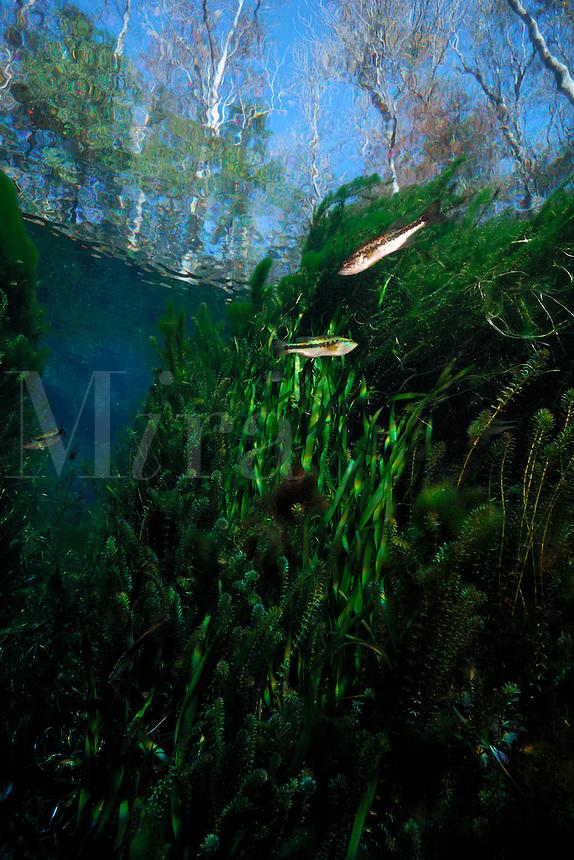 Largemouth bass, Micropterus salmoides, Wacissa river, Florida