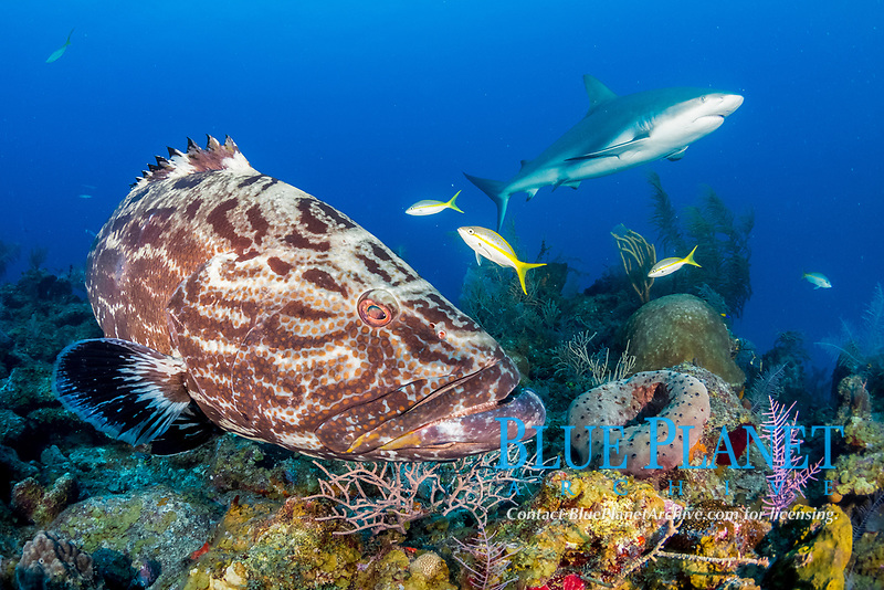 black grouper, Mycteroperca bonaci, and Caribbean reef shark, Carcharhinus pereziii, Gardens of the Queen, Jardines de la Reina, Jardines de la Reina National Park, Cuba, Caribbean Sea, Atlantic Ocean