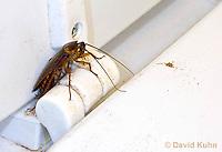 0113-0903  American cockroach on Dirty Toilet (hinge of toilet seat), Periplaneta americana  © David Kuhn/Dwight Kuhn Photography.