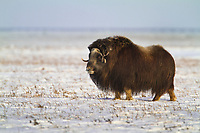 Muskox on the winter tundra in Alaska's Arctic North Slope