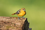 Female Baltimore oriole standing on a log in northern Wisconsin.