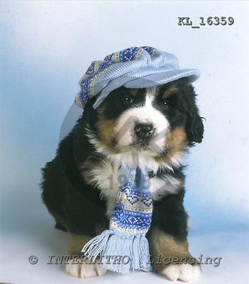 Interlitho, Alberto, ANIMALS, dogs, photos, bernersennen puppies, KL16359,#a# Hunde, perros