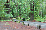 Along the famous Avenue of the Giants in Humboldt Redowoods State Park, California, a forest road winds through old growth Coast Redwoods.  Humboldt Redwoods State Park is along U.S. HIghway 101 north of San Francisco, California along the North Coast.