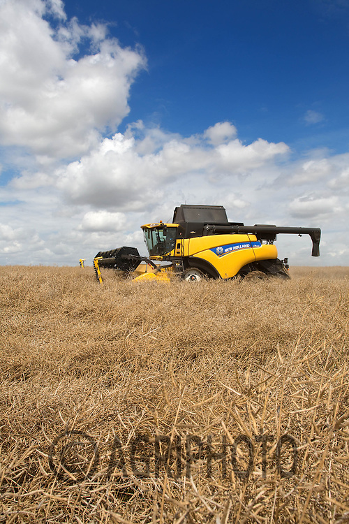 A New Holland Combine Harvesting Oil Seed Rape in.Lincolnshire