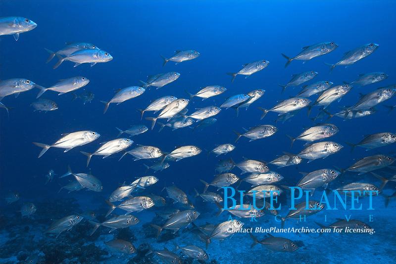 Bigeye trevallies (jacks), Caranx sexfasciatus, schooling, Ailuk atoll, Marshall Islands, Pacific Ocean