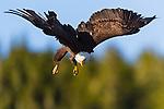 Bald Eagle fishing, Alaska