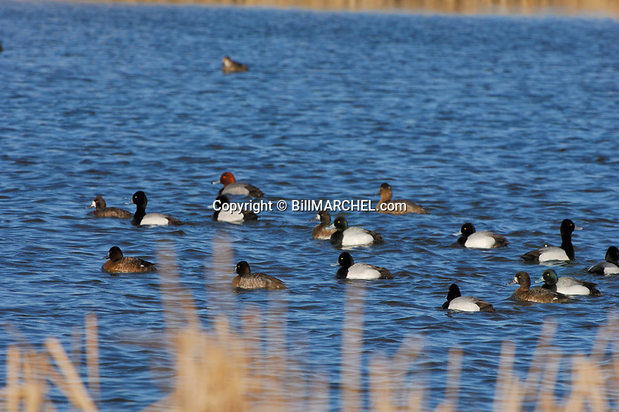 00342-009.15 Lesser Scaup (DIGITAL) flock and pair of redhead on the water of a marsh.  Waterfowl, bluebill, hunt, wetland.  H1L1
