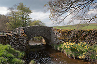 River bridge with daffodils, Landcliffe, North Yorkshire.