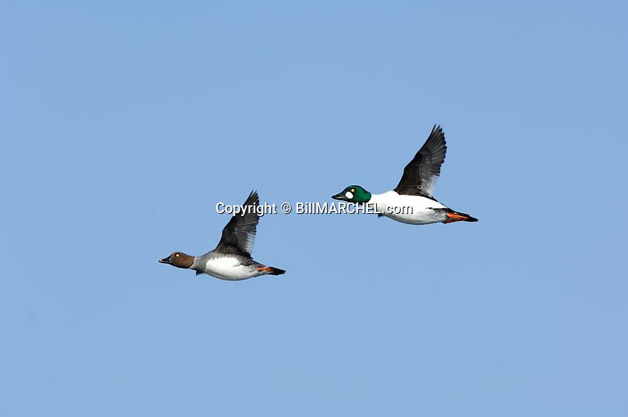 00316-006.04 Common Goldeneye pair in flight against a blue sky.  Whistler, hunt, fly, action.