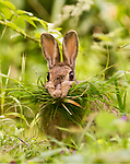 Busy bunny.  Mum brings grass back to her burrow by Paul Lindley