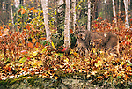 Canadian Lynx in fall color, Minnesota