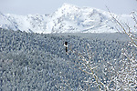 Winter scenic, magpie in aspen tree, early spring snow, snowcapped peaks in background, Moraine Park, Rocky Mountain National Park, Colorado, USA