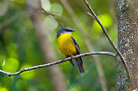 Eastern Yellow Robin, Kooloobung Crk Park, Port Macquarie, NSW, Australia