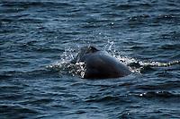 sei whale, Balaenoptera borealis, Azores, Portugal