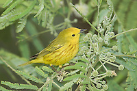 Yellow Warbler, Dendroica petechia, male, South Padre Island, Texas, USA