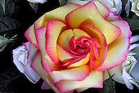 Flores. Rosa ( Rosa x grandiflora). SP. Foto de Manuel Lourenço.