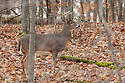 00274-308.14 White-tailed Deer Buck (DIGITAL) with 9 point antlers is in oak forest during fall.  Hunting, acorns, hardwoods.  H4R1