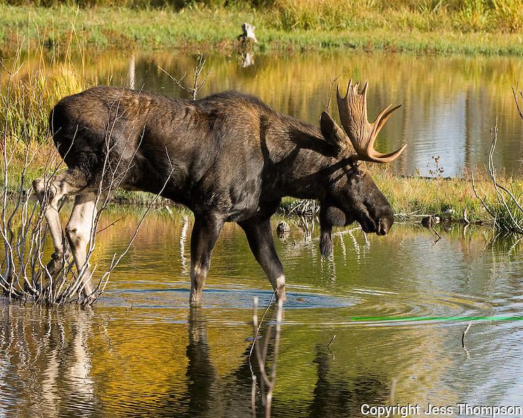 Bull Moose in water at Grand Tetons National Park, Wyoming