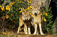 Two immature (young of the year) gray wolves (Canis lupus).  Fall.  Northern Rockies.