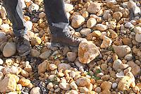 "Frédéric Pourtalié of Dom Montcalmes with big rocks called ""tetes de mort"" head of dead people or skulls in the vineyard of Domaine Saint Sylvestre in Puechabon. Terrasses de Larzac. Languedoc. Terroir soil. Owner winemaker. France. Europe. Vineyard. Soil with stones rocks. Galets."